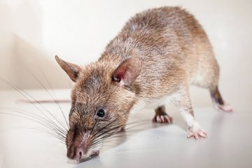 Rat - Dératisation