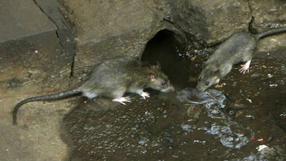 rats de Paris danger sanitaire