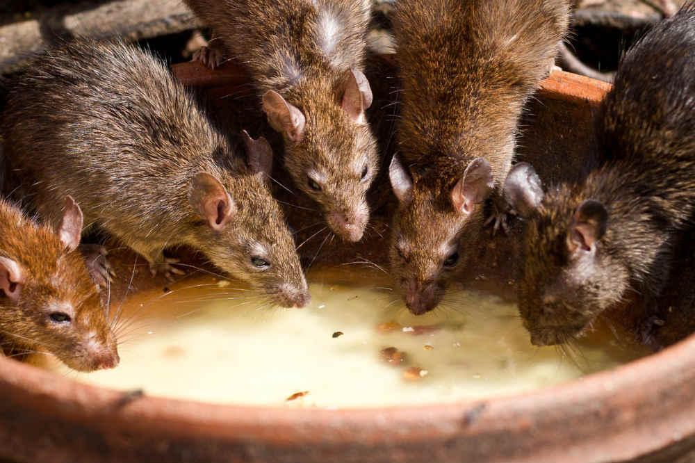 rats de Paris nombreux
